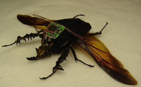 316drone beetle
