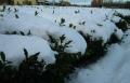 茶畑の積雪③