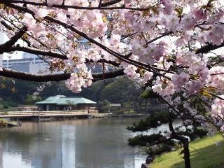 浜離宮恩賜庭園の桜・見頃が遅めのヤエザクラ