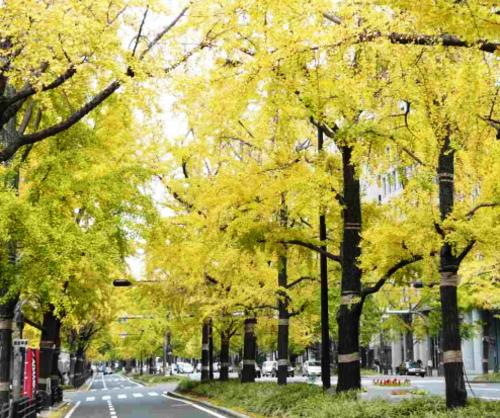 昭和37年の御堂筋・銀杏並木