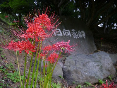 彼岸花 (6)