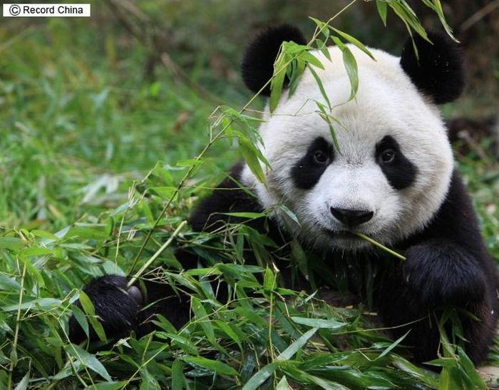pandafur7.jpg
