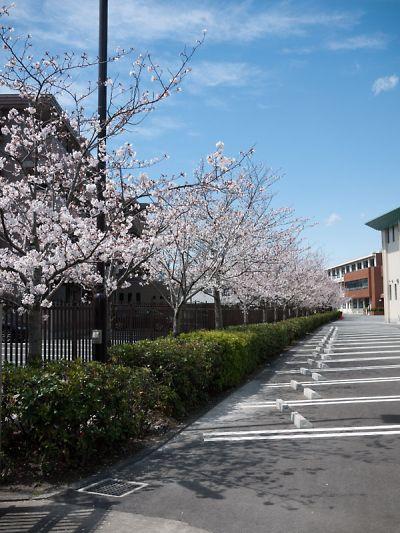 富士見高校の桜