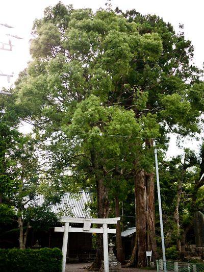 助宗大井神社の大杉