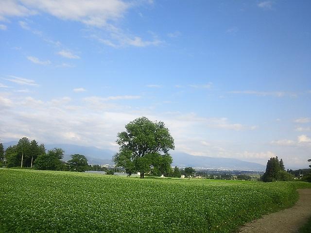 安曇野のそば畑にて