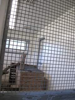 08-01 zoo bobcat 021
