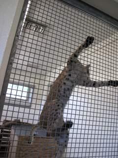 08-01 zoo bobcat 015