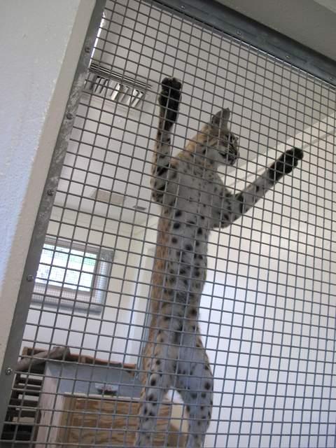 08-01 zoo bobcat 013