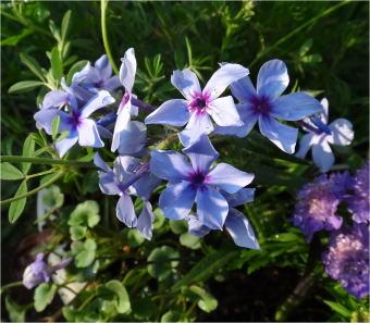 phlox moody blue