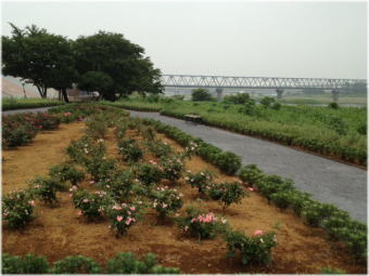 saganigawa_rose_garden.jpg