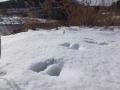 イタチの足跡