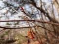 アブラツツジの果実と冬芽