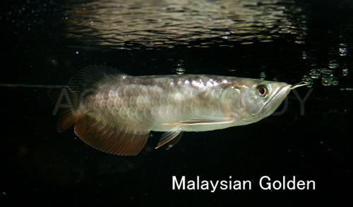 malaysian golden2