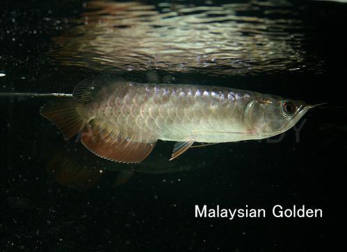 malaysian golden3