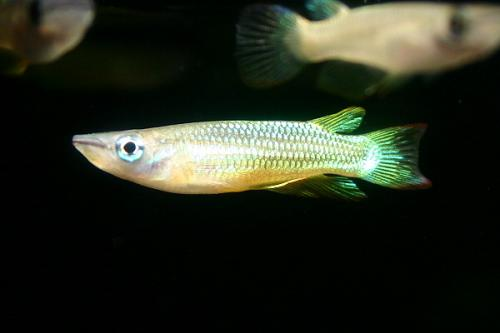 aplocheilus lineatus var.2