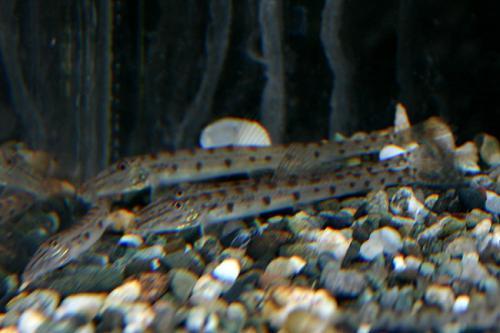 Acanthopsis choirorhynhus