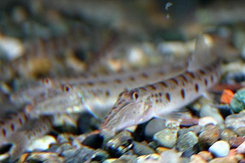 Acanthopsis choirorhynhus2