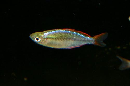 Melanotaenia praecox2
