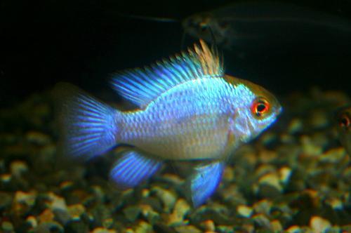 papiliochromis ramirezi ver super blue