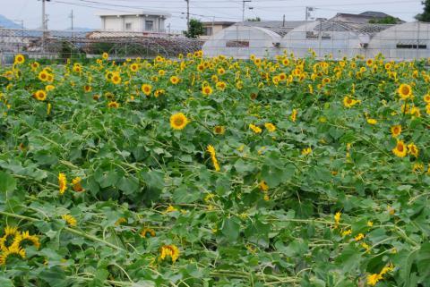 向日葵とコスモス1