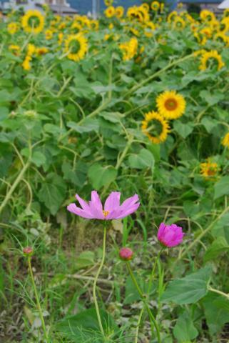 向日葵とコスモス2