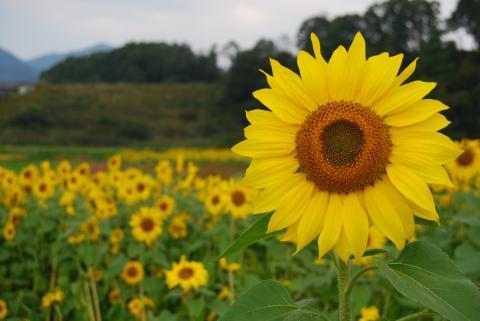 蒜山向日葵1