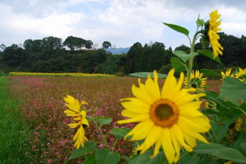 蒜山向日葵2