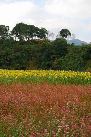 蒜山向日葵4