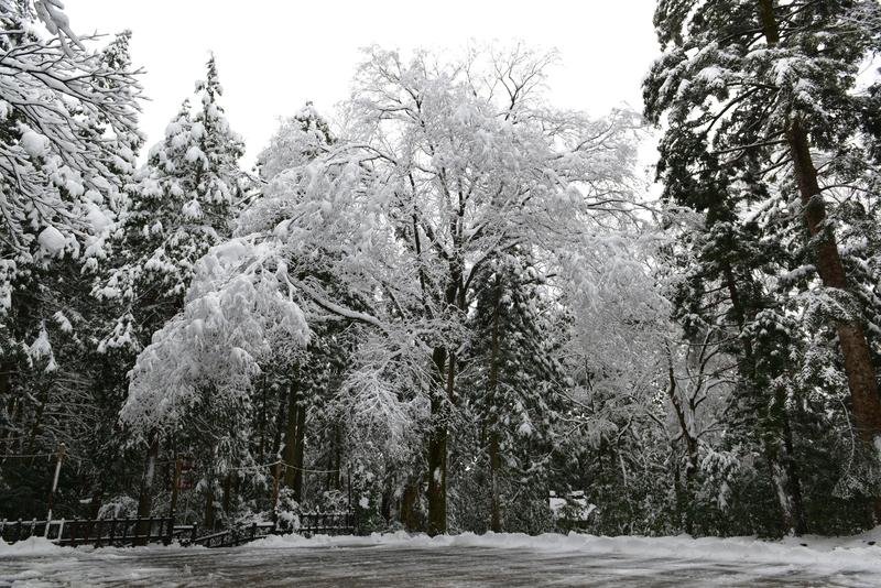 雪と樹と-1
