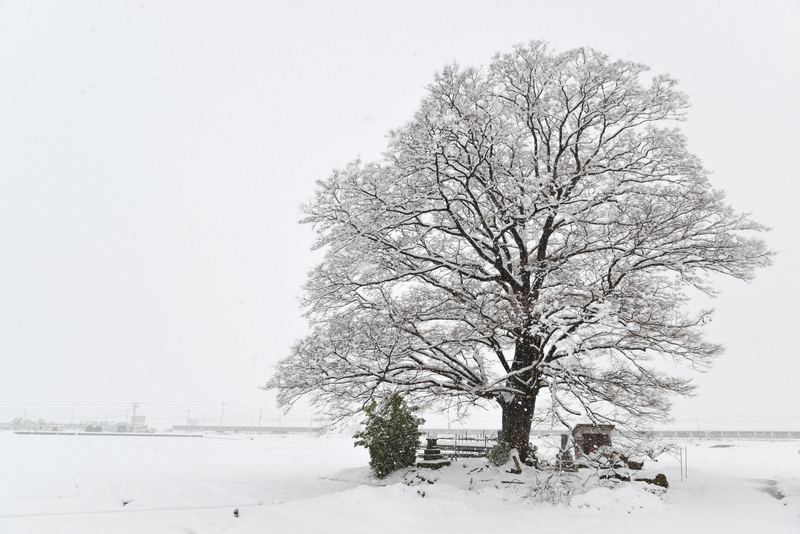 樹と雪と-1