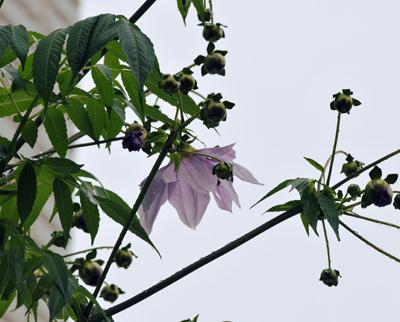 ダリアの開花