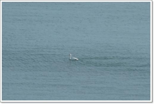 厚岸湾の白鳥2014年1月