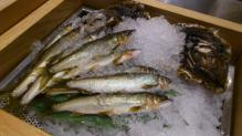 島根県高津川の天然鮎