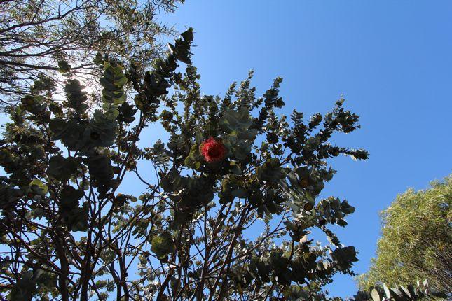 10:1EucalyptusRhodantha花