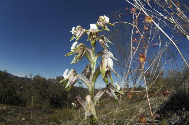 7:22ギョロ目Prasophyllum parvifolium