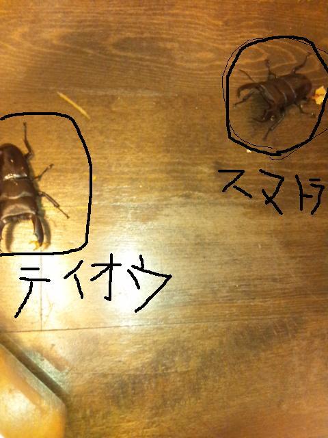テイオウ♂とスマトラ♂