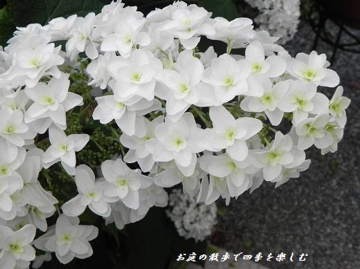 kasiwabaajisai31.jpg