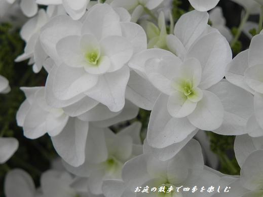 kasiwabaajisai32.jpg