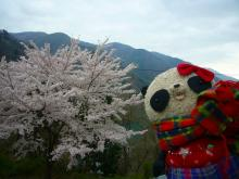ばぶちゃん 奥飛騨の春 桜