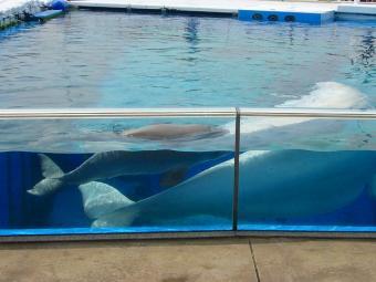 白イルカの赤ちゃん in八景島シーパラダイス