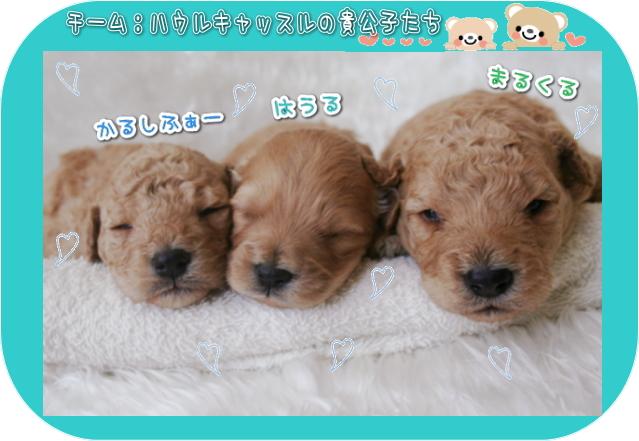 ゴールデンドゥードルF1bの仔犬たち