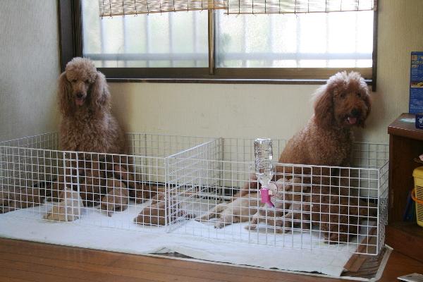 ゴールデンドゥードル 子犬 BABYBOO産室の授乳風景