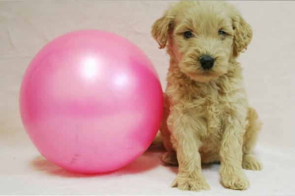 ゴールデンドゥードルブリーダーBABYBOOの子犬
