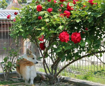 薔薇とシリ。 なんで、このワタシがバラの引立て役のモデルをしなきゃならないのヨ!