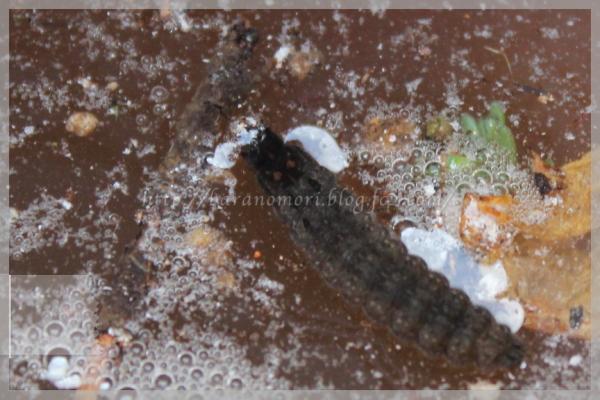 毛虫 害虫 20141128