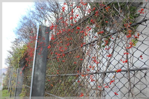 赤い実 20141209