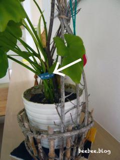 クッカバラの茎