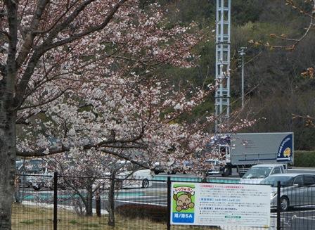 桜が咲いてましたぁ~
