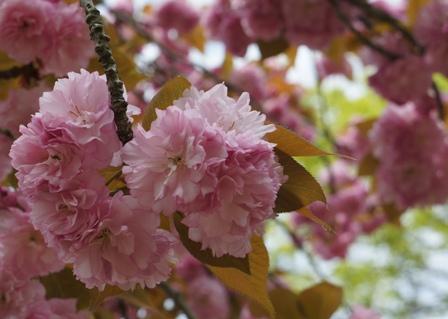 八重桜好きです~♪