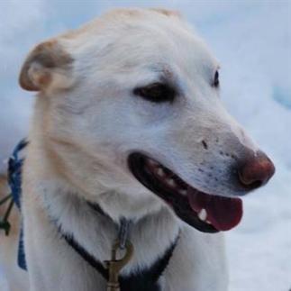 Whistler dog sled